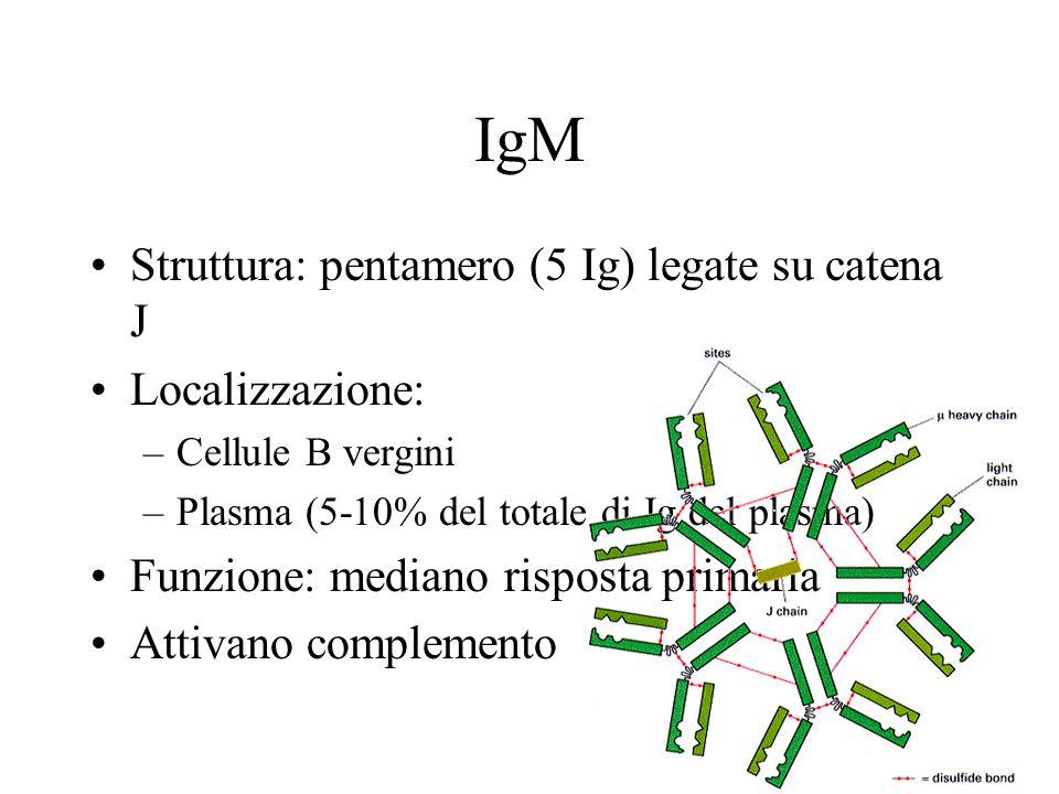 IgM Struttura: pentamero (5 Ig) legate su catena J Localizzazione: –Cellule B vergini –Plasma (5-10% del totale di Ig del plasma) Funzione: mediano risposta primaria Attivano complemento