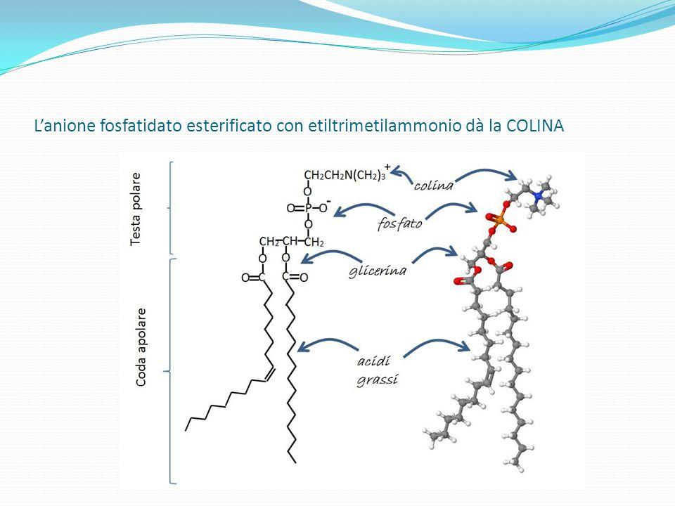L'anione fosfatidato esterificato con etiltrimetilammonio dà la COLINA