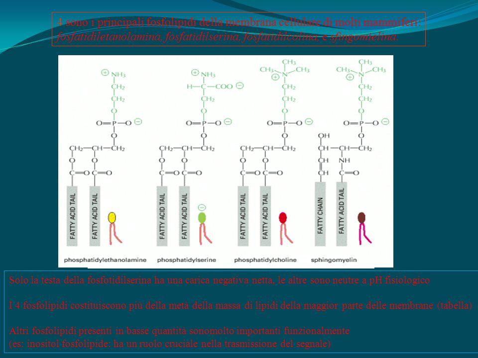 Solo la testa della fosfotidilserina ha una carica negativa netta, le altre sono neutre a pH fisiologico I 4 fosfolipidi costituiscono più della metà della massa di lipidi della maggior parte delle membrane (tabella) Altri fosfolipidi presenti in basse quantità sonomolto importanti funzionalmente (es: inositol fosfolipide: ha un ruolo cruciale nella trasmissione del segnale) 4 sono i principali fosfolipidi della membrana cellulare di molti mammiferi: fosfatidiletanolamina, fosfatidilserina, fosfatidilcolina, e sfingomielina.