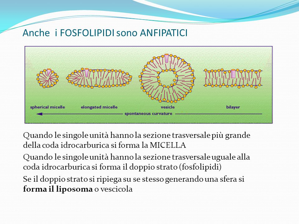 Anche i FOSFOLIPIDI sono ANFIPATICI Quando le singole unità hanno la sezione trasversale più grande della coda idrocarburica si forma la MICELLA Quand