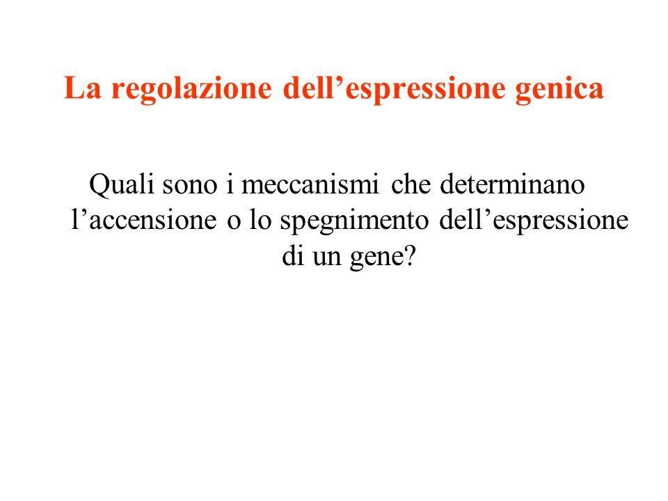 La regolazione dell'espressione genica Quali sono i meccanismi che determinano l'accensione o lo spegnimento dell'espressione di un gene?