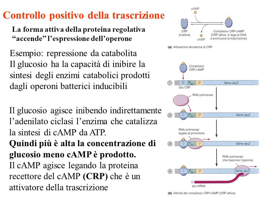 """Controllo positivo della trascrizione La forma attiva della proteina regolativa """"accende"""" l'espressione dell'operone Esempio: repressione da catabolit"""