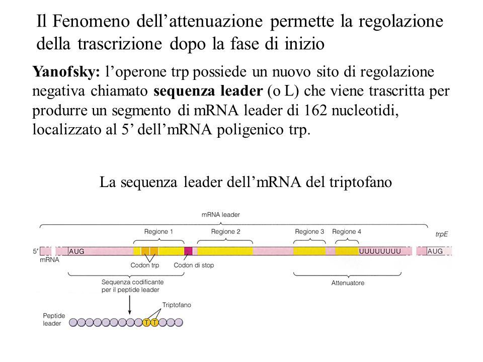 Il Fenomeno dell'attenuazione permette la regolazione della trascrizione dopo la fase di inizio Yanofsky: l'operone trp possiede un nuovo sito di rego
