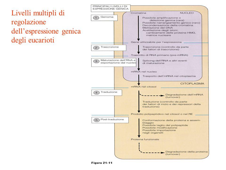 Livelli multipli di regolazione dell'espressione genica degli eucarioti