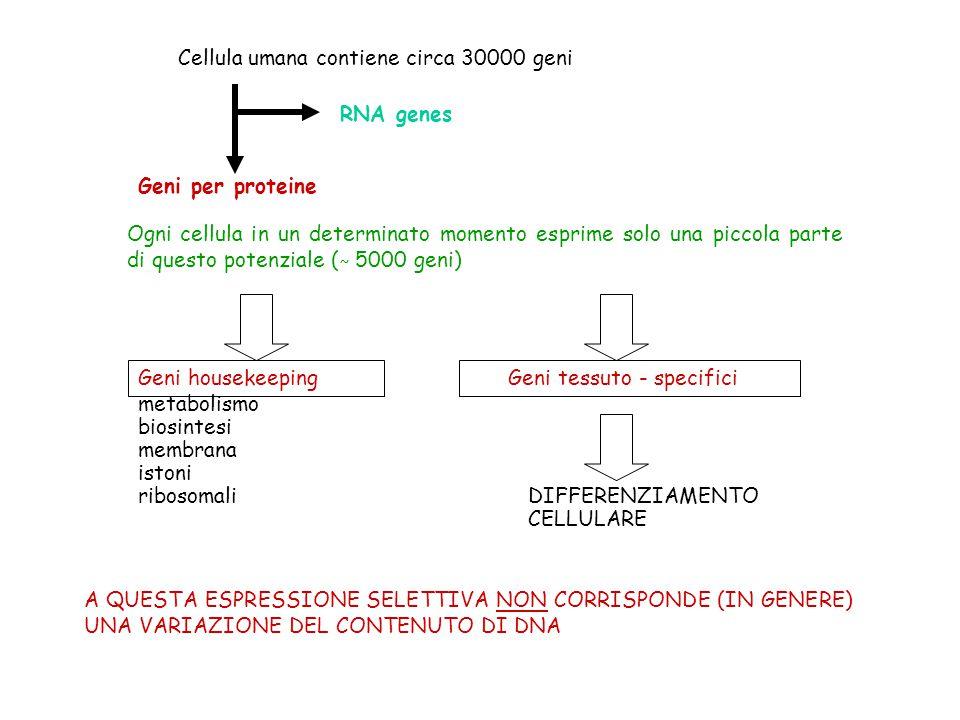 Cellula umana contiene circa 30000 geni RNA genes Geni per proteine Ogni cellula in un determinato momento esprime solo una piccola parte di questo po