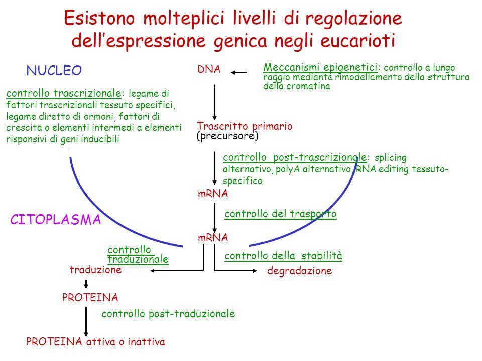 NUCLEO controllo trascrizionale: legame di fattori trascrizionali tessuto specifici, legame diretto di ormoni, fattori di crescita o elementi intermed