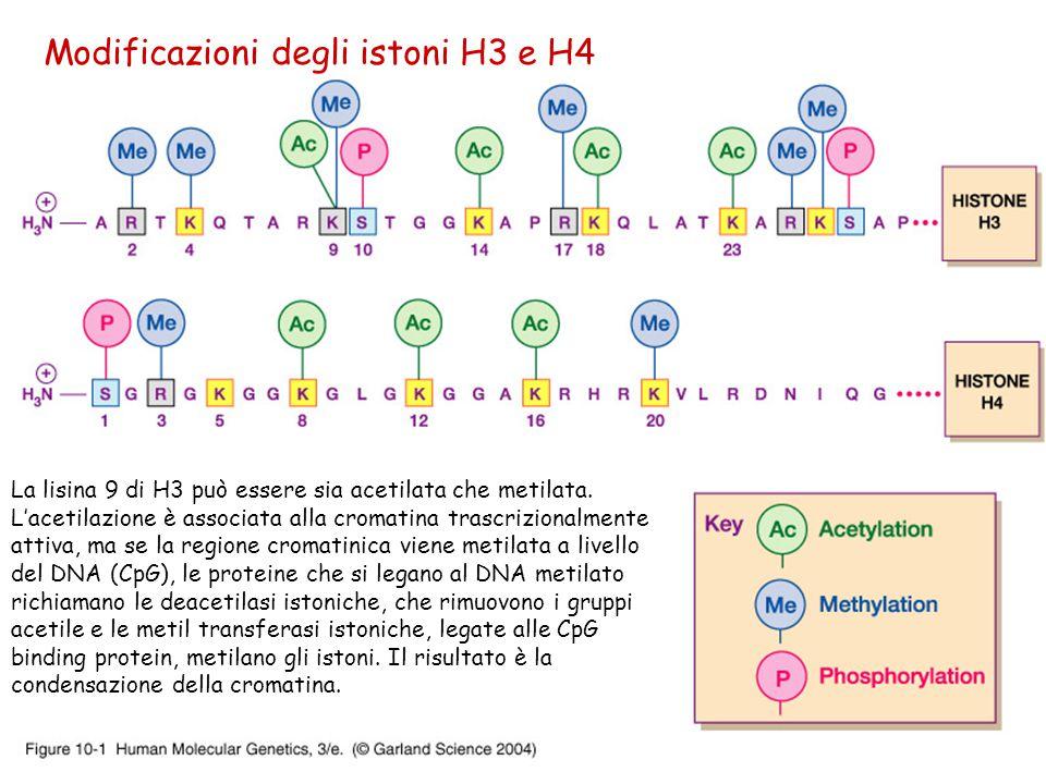 Modificazioni degli istoni H3 e H4 La lisina 9 di H3 può essere sia acetilata che metilata. L'acetilazione è associata alla cromatina trascrizionalmen