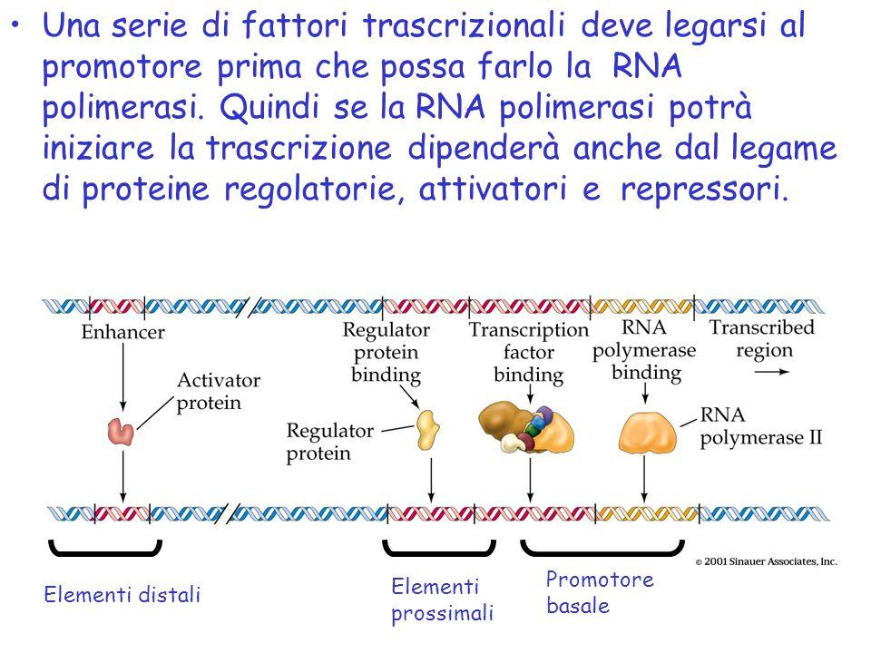 Elementi distali Elementi prossimali Promotore basale •Una serie di fattori trascrizionali deve legarsi al promotore prima che possa farlo la RNA poli