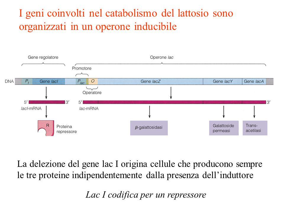 I geni coinvolti nel catabolismo del lattosio sono organizzati in un operone inducibile La delezione del gene lac I origina cellule che producono semp