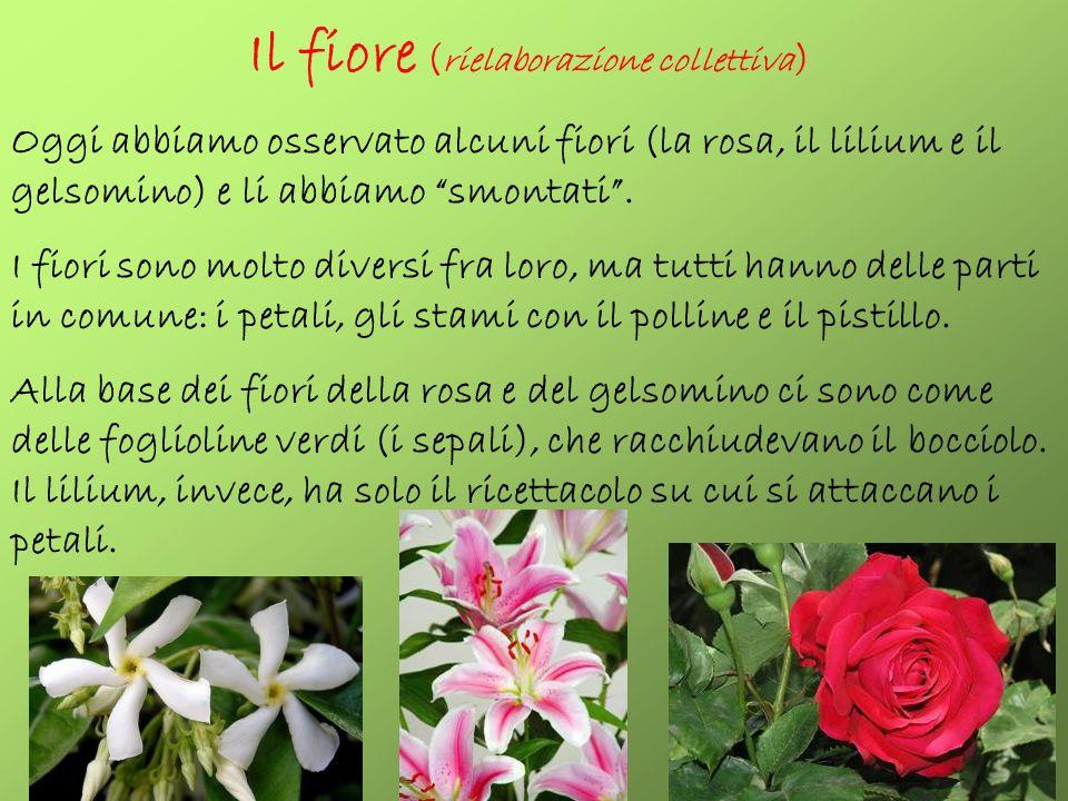 """Il fiore ( rielaborazione collettiva ) Oggi abbiamo osservato alcuni fiori (la rosa, il lilium e il gelsomino) e li abbiamo """"smontati"""". I fiori sono m"""