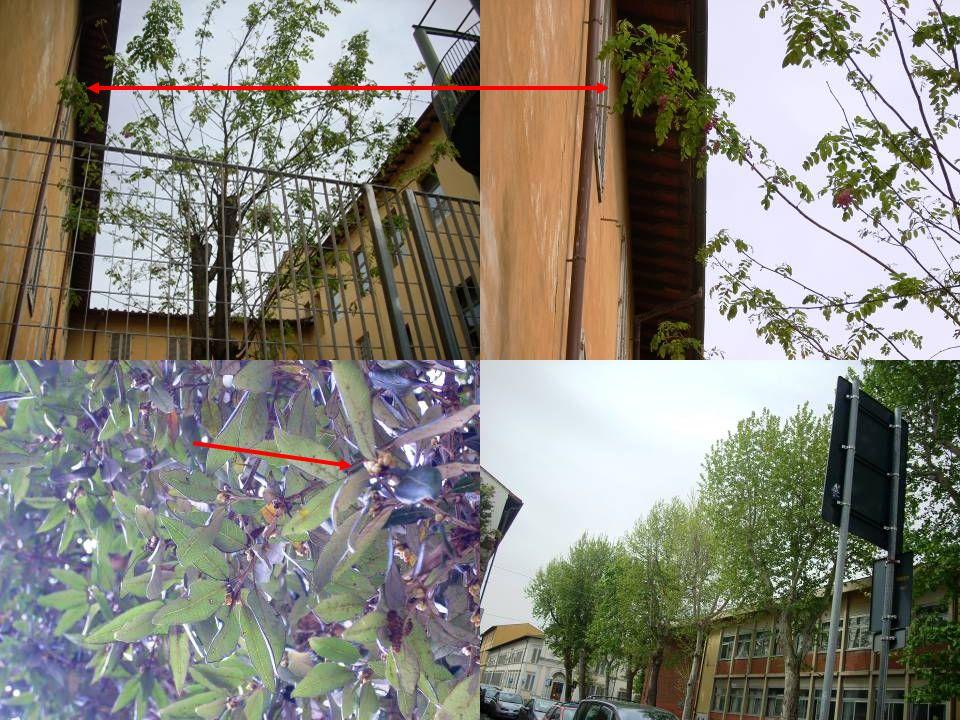 Novità di primavera nel Largo della Resistenza ( rielaborazione collettiva ) Durante l'inverno molti alberi erano spogli e solo il viburno aveva dei piccoli fiorellini bianchi.