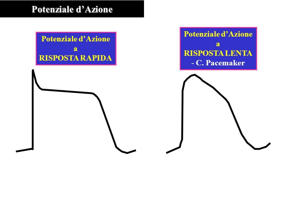 Potenziale d'Azione a RISPOSTA RAPIDA Potenziale d'Azione a RISPOSTA LENTA - C. Pacemaker