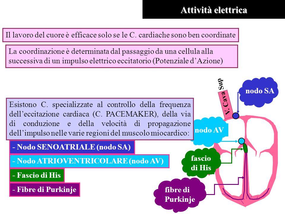 Attività elettrica Il lavoro del cuore è efficace solo se le C. cardiache sono ben coordinate La coordinazione è determinata dal passaggio da una cell