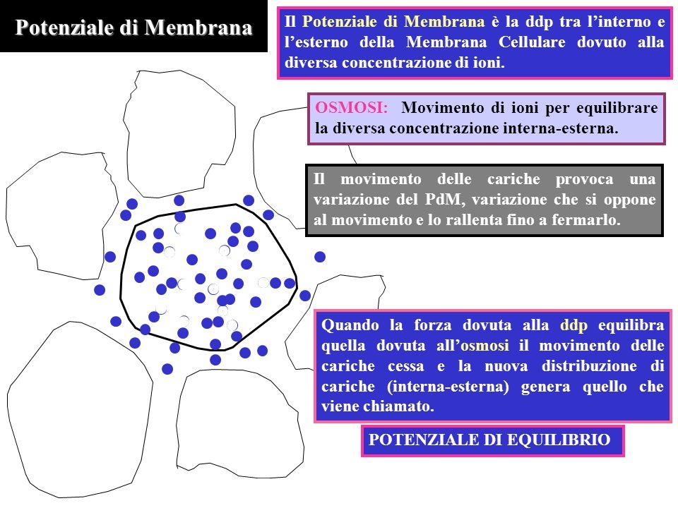 Potenziale di Membrana OSMOSI: Movimento di ioni per equilibrare la diversa concentrazione interna-esterna. Il Potenziale di Membrana è la ddp tra l'i