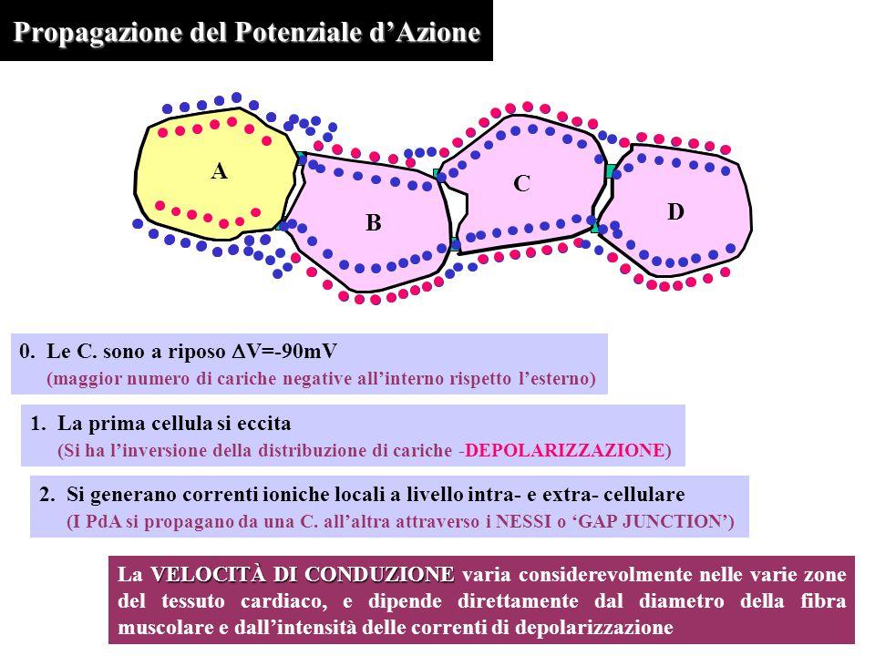 Propagazione del Potenziale d'Azione A B C D A B C D 0.Le C. sono a riposo  V=-90mV (maggior numero di cariche negative all'interno rispetto l'estern