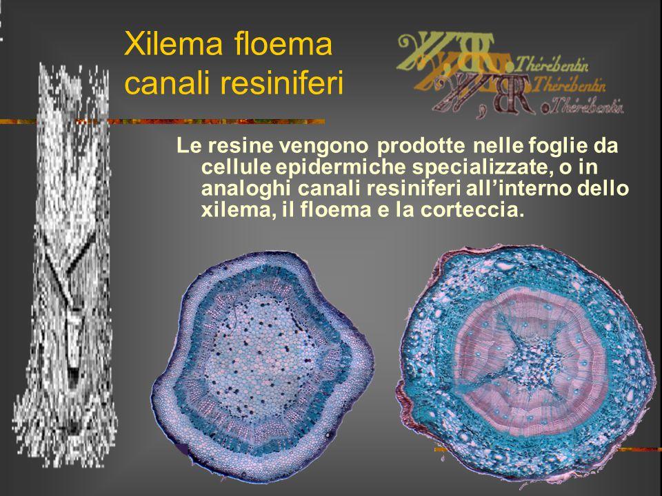 Xilema floema canali resiniferi Le resine vengono prodotte nelle foglie da cellule epidermiche specializzate, o in analoghi canali resiniferi all'inte