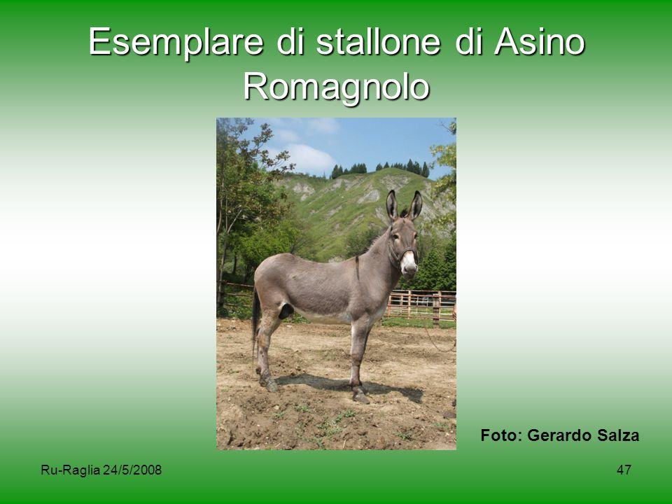 Ru-Raglia 24/5/200847 Esemplare di stallone di Asino Romagnolo Foto: Gerardo Salza