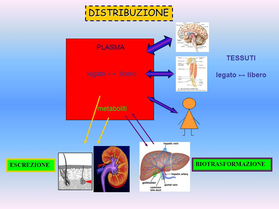 PLASMA legato ↔ libero metaboliti TESSUTI legato ↔ libero DISTRIBUZIONE BIOTRASFORMAZIONE ESCREZIONE