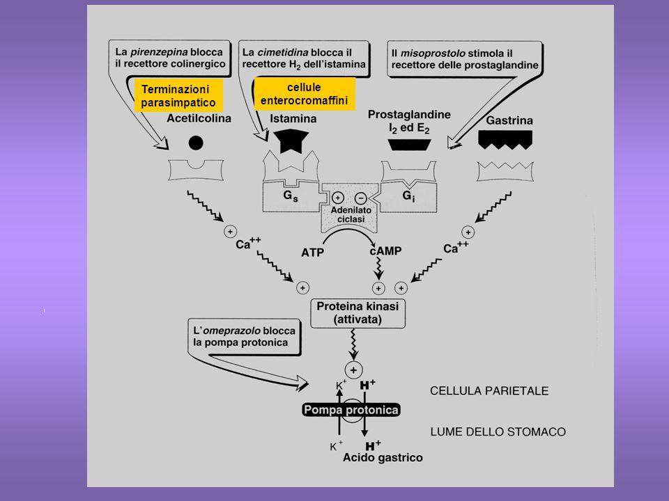 ISTAMINA H1H1 IP3/DAG H2H2  AMPc H3H3  AMPc H4H4 Muscolatura liscia (vie aeree, intestino vasi = contrazione) Cuore (inotropo+ cronotropo+) Stomaco (secrez acida) Utero (contrazione) SNC (processi neuroen- docrini) SNC (  liberazione Neurotrasmettitori) Polmone (  contrazione) Intestino (  liberazione Neurotrasmettitori) Stomaco (  secrez acida) Midollo osseo Milza, Eosinofili, Monociti, neutrofili Mastociti