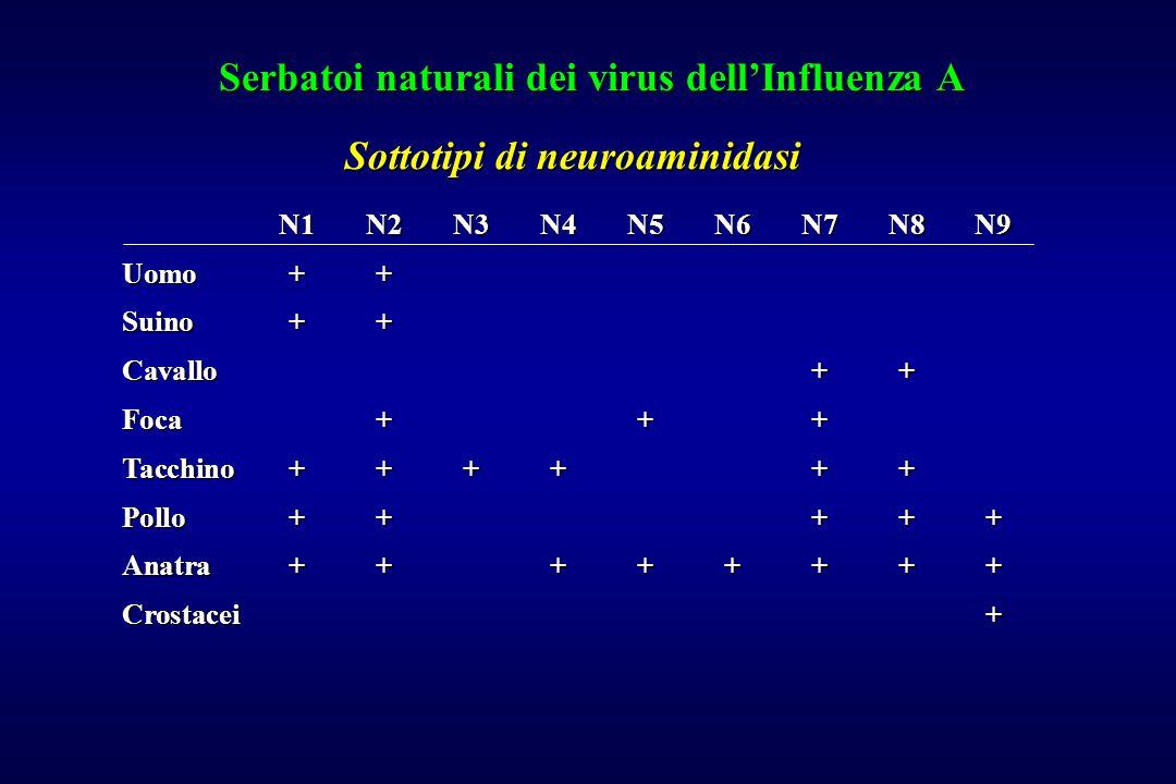 Serbatoi naturali dei virus dell'Influenza A N1N2N3N4N5N6N7N8N9 Uomo++ Suino++ Cavallo++ Foca+++ Tacchino++++++ Pollo+++++ Anatra++++++++ Crostacei+ S