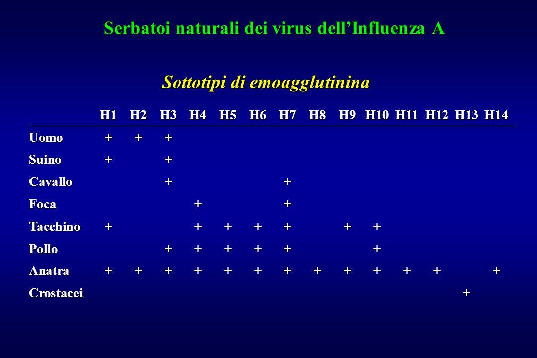 Serbatoi naturali dei virus dell'Influenza A H1H2H3H4H5H6H7H8H9H10H11H12H13H14 Uomo+++ Suino++ Cavallo++ Foca++ Tacchino+++++++ Pollo++++++ Anatra++++