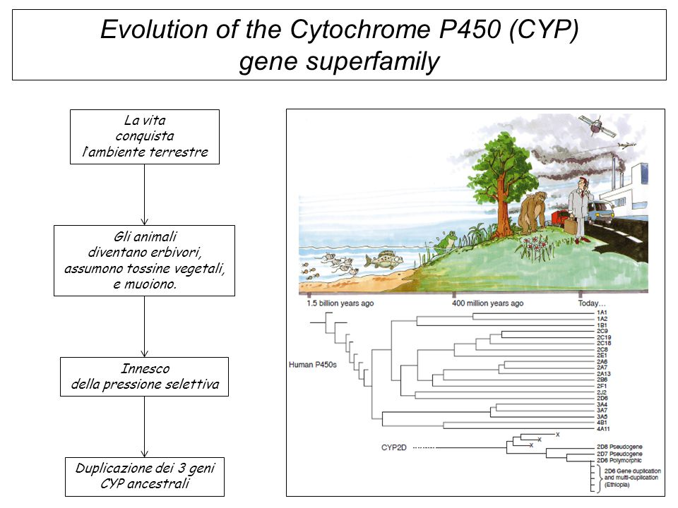 CYP3A3 CYP3A4 CYP3A5 CYP3A5P1 CYP3A5P2 Chromosome 7 CYP2C8 CYP2C9 CYP2C18 CYP2C19 Chromosome 10Chromosome 22 CYP2D6 CYP2D7P CYP2D8P Evidence for the evolution of CYP gene superfamily by gene duplications