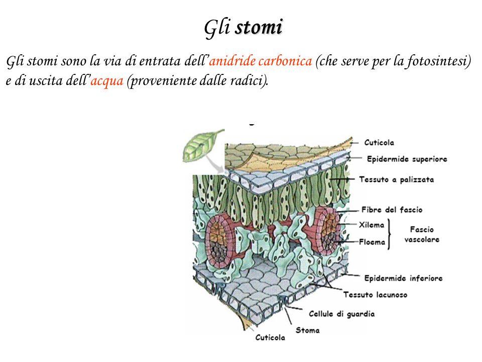 stomi Gli stomi Gli stomi sono la via di entrata dell'anidride carbonica (che serve per la fotosintesi) e di uscita dell'acqua (proveniente dalle radi