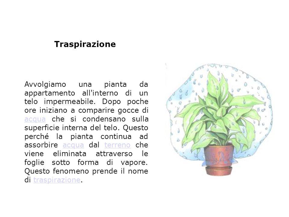 Avvolgiamo una pianta da appartamento all'interno di un telo impermeabile. Dopo poche ore iniziano a comparire gocce di acqua che si condensano sulla