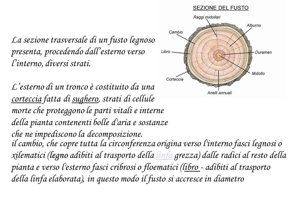 La cipolla è un fusto trasformato sotterraneo: un bulbo.