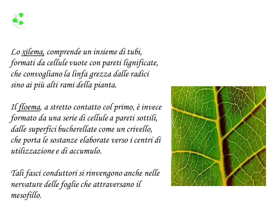 L acqua assorbita dalle radici risale lungo i vasi xilematici (legnosi) fino alle foglie come indicato dalle frecce.