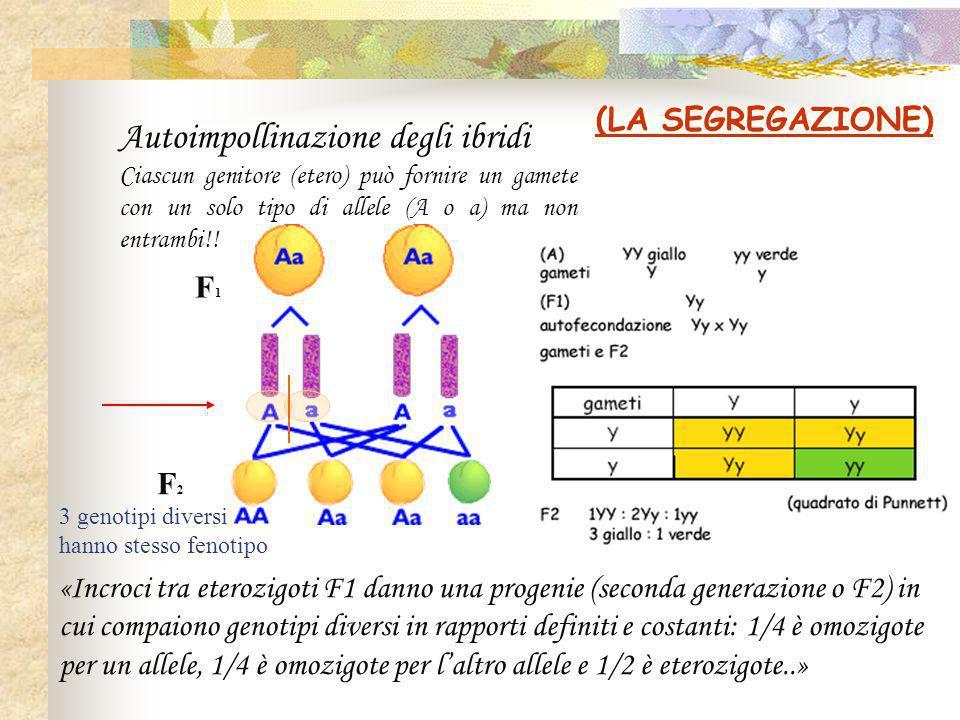 (LA SEGREGAZIONE) «Incroci tra eterozigoti F1 danno una progenie (seconda generazione o F2) in cui compaiono genotipi diversi in rapporti definiti e costanti: 1/4 è omozigote per un allele, 1/4 è omozigote per l'altro allele e 1/2 è eterozigote..» F1F1 F2F2 Autoimpollinazione degli ibridi Ciascun genitore (etero) può fornire un gamete con un solo tipo di allele (A o a) ma non entrambi!.