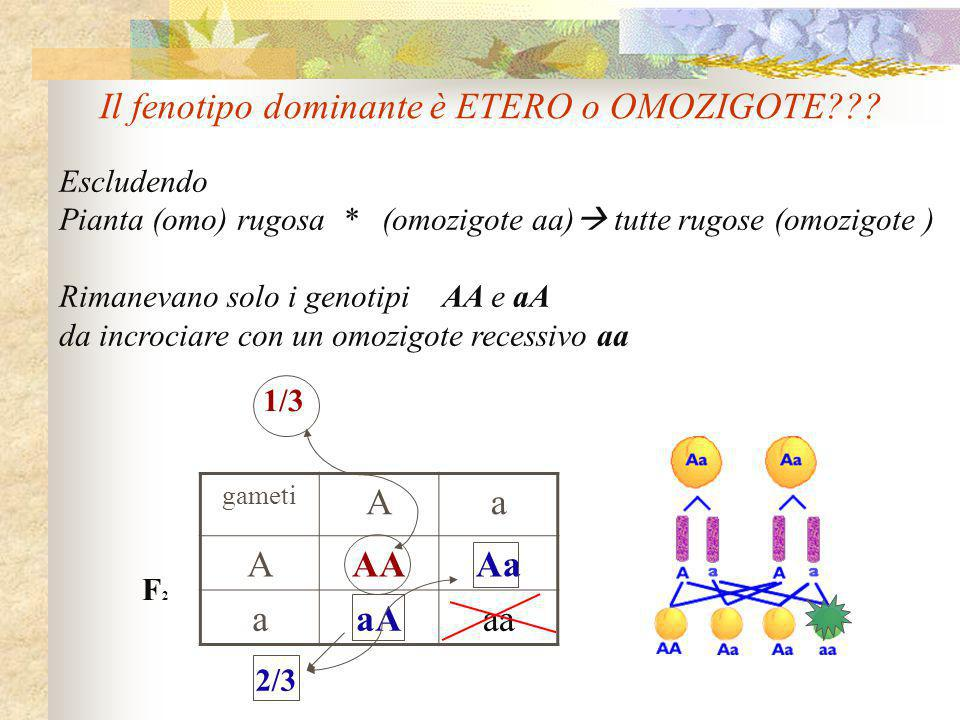 Escludendo Pianta (omo) rugosa * (omozigote aa)  tutte rugose (omozigote ) Rimanevano solo i genotipi AA e aA da incrociare con un omozigote recessiv