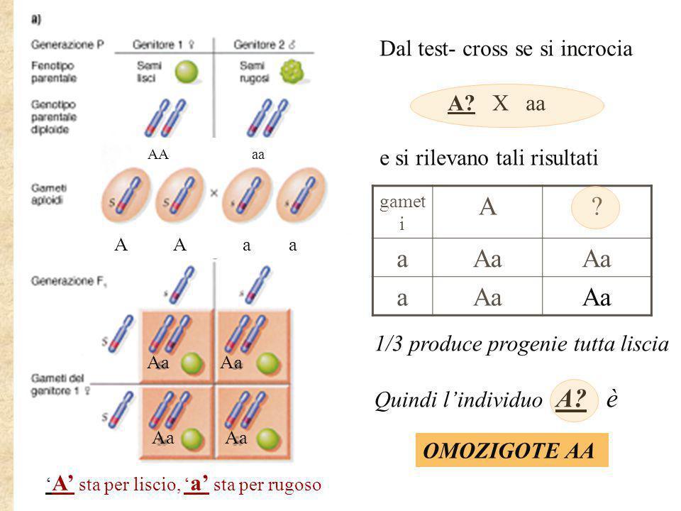 Dal test- cross se si incrocia A? X aa e si rilevano tali risultati 1/3 produce progenie tutta liscia Quindi l'individuo A? è gamet i A? aAa a OMOZIGO