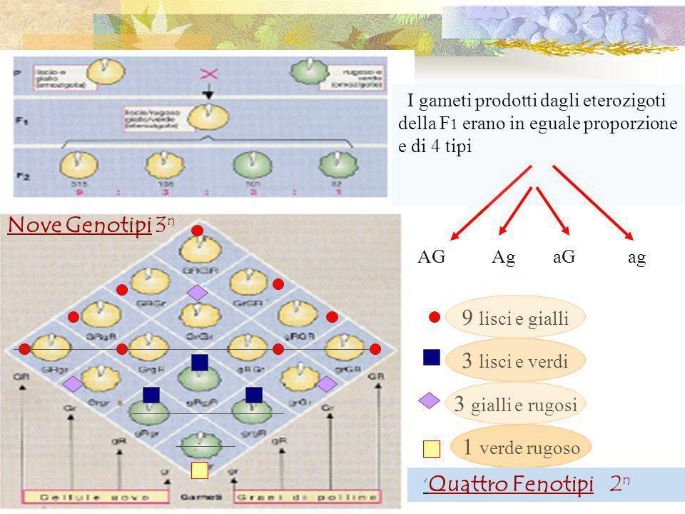 I gameti prodotti dagli eterozigoti della F 1 erano in eguale proporzione e di 4 tipi AG Ag aG ag 9 lisci e gialli 3 lisci e verdi 1 verde rugoso 3 gialli e rugosi ' Quattro Fenotipi 2 n Nove Genotipi 3 n