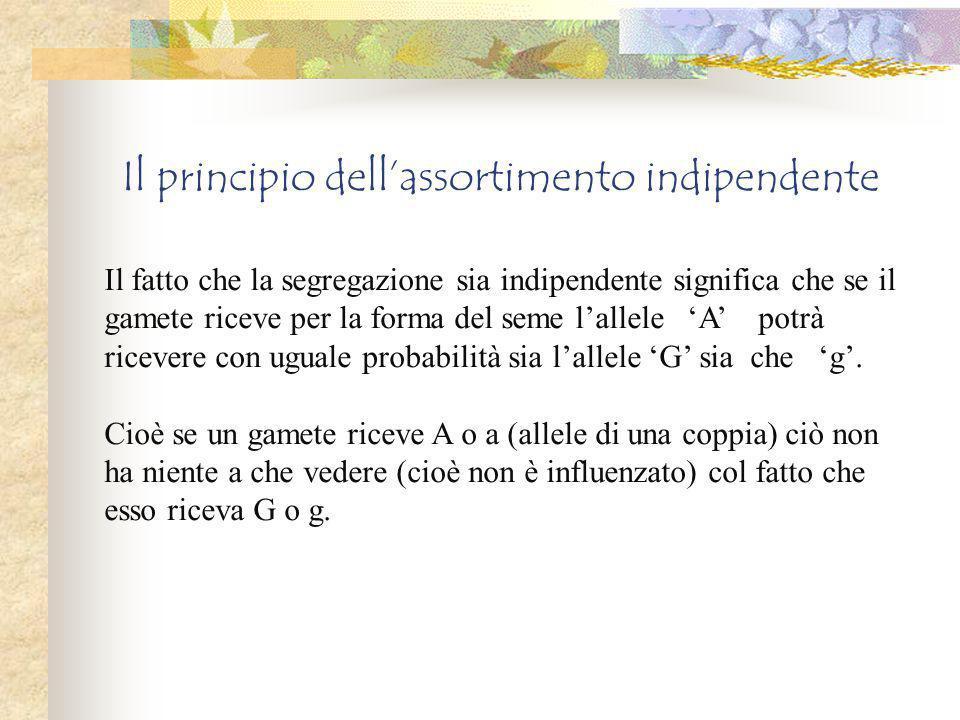 Il principio dell'assortimento indipendente Il fatto che la segregazione sia indipendente significa che se il gamete riceve per la forma del seme l'allele 'A' potrà ricevere con uguale probabilità sia l'allele 'G' sia che 'g'.