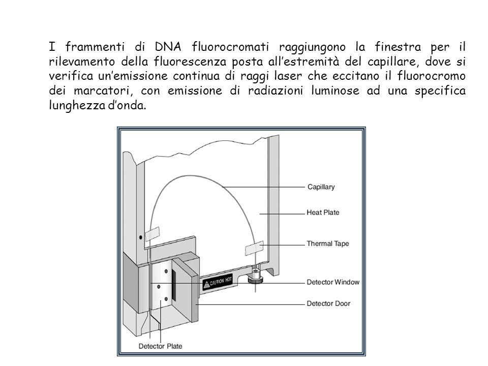 I frammenti di DNA fluorocromati raggiungono la finestra per il rilevamento della fluorescenza posta all'estremità del capillare, dove si verifica un'