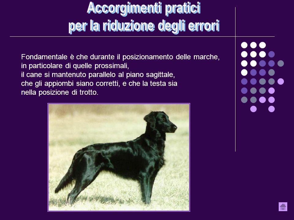 Fondamentale è che durante il posizionamento delle marche, in particolare di quelle prossimali, il cane si mantenuto parallelo al piano sagittale, che