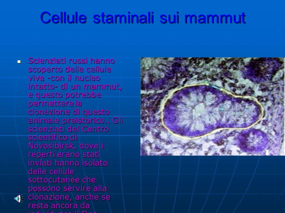 Cellule staminali sui mammut Scienziati russi hanno scoperto delle cellule vive -con il nucleo intatto- di un mammut, e questo potrebbe permettere la clonazione di questo animale preistorico..