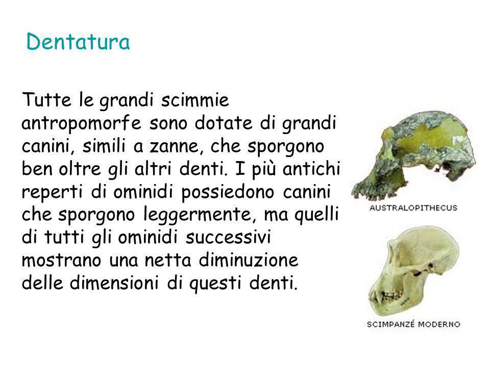 Dentatura Tutte le grandi scimmie antropomorfe sono dotate di grandi canini, simili a zanne, che sporgono ben oltre gli altri denti. I più antichi rep
