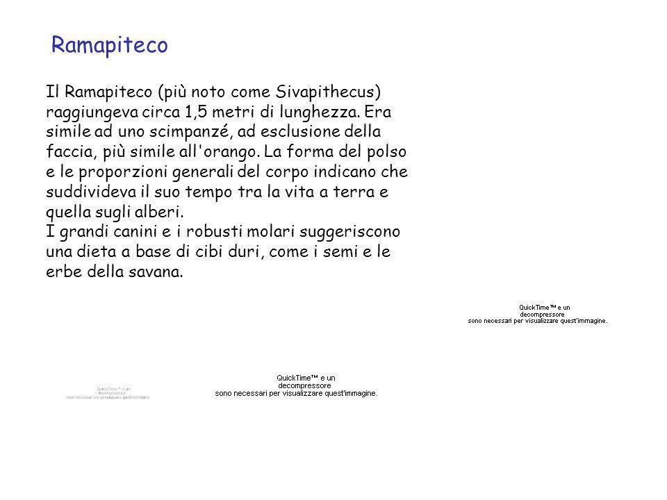 Ramapiteco Il Ramapiteco (più noto come Sivapithecus) raggiungeva circa 1,5 metri di lunghezza. Era simile ad uno scimpanzé, ad esclusione della facci