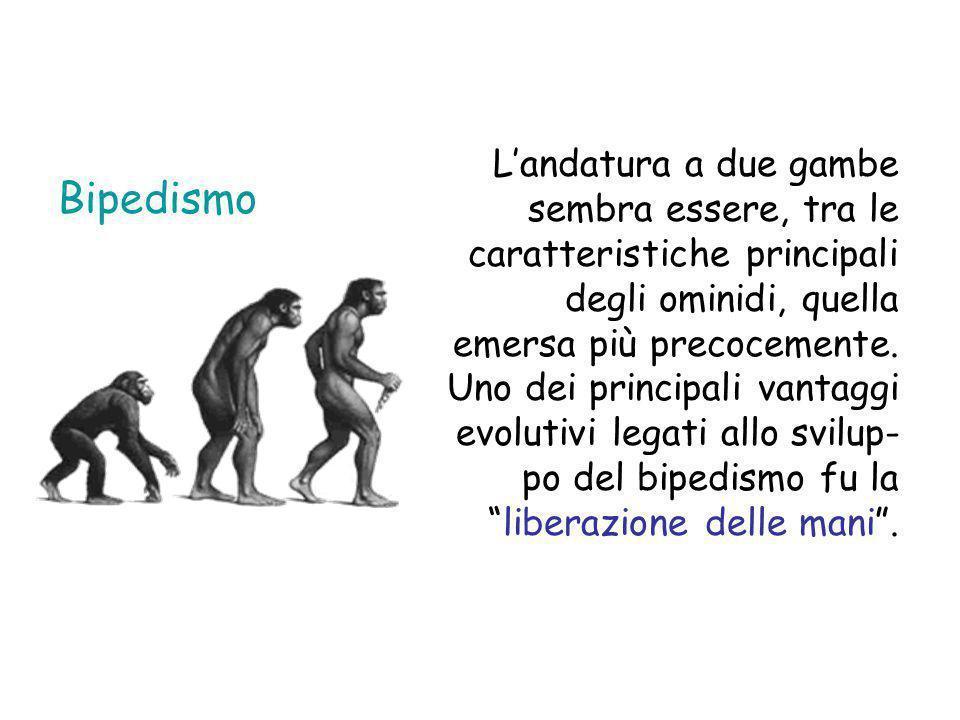 Dimensioni cerebrali Nel corso dell'evoluzione umana il volume del cervello si è più che triplicato.