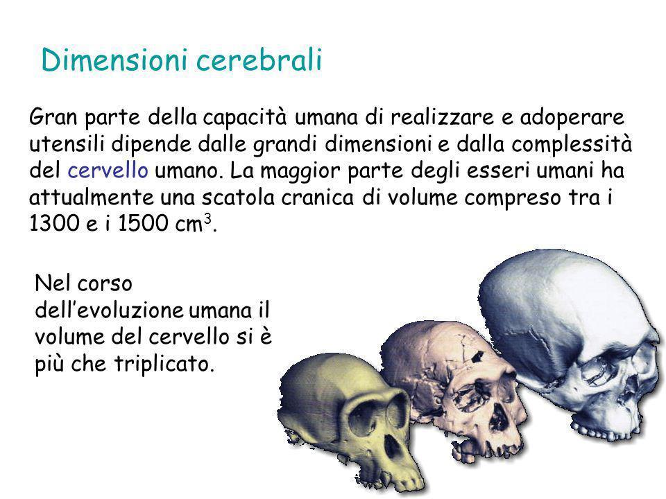 Dimensioni corporee I più antichi fossili riferibili a forme umane mostrano un evidente dimorfismo sessuale, soprattutto per quanto riguarda le dimensioni corporee.