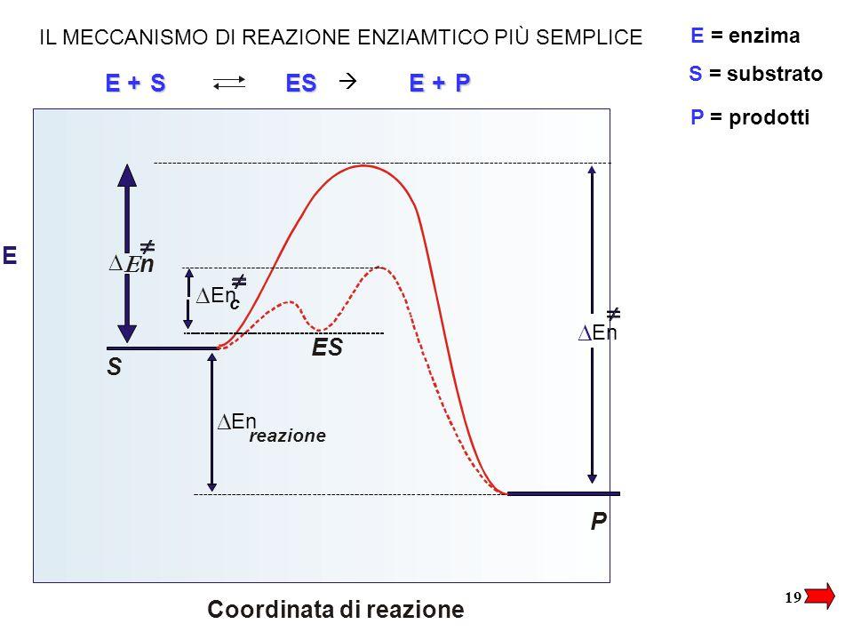 19 E Coordinata di reazione  En reazione  nn S P ES  En c  EESS+EP+ E = enzima S = substrato P = prodotti  IL MECCANISMO DI REAZIONE ENZIAMTICO PIÙ SEMPLICE