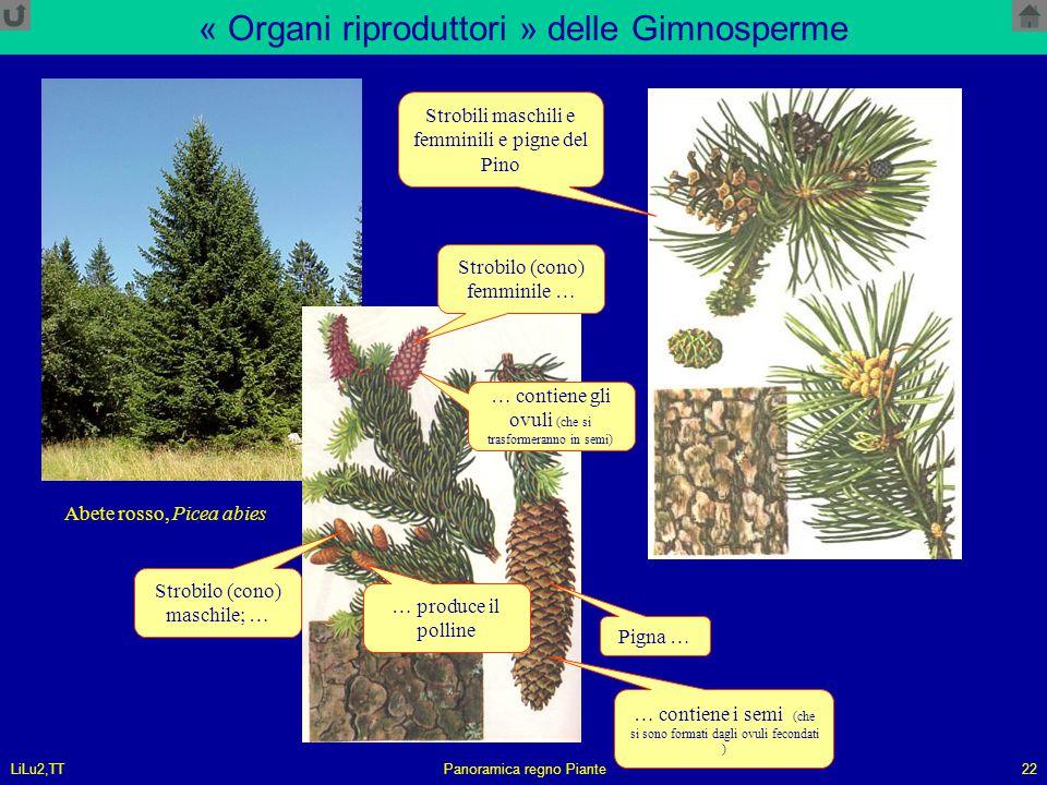 LiLu2,TTPanoramica regno Piante22 « Organi riproduttori » delle Gimnosperme Abete rosso, Picea abies Strobilo (cono) femminile … Strobilo (cono) masch