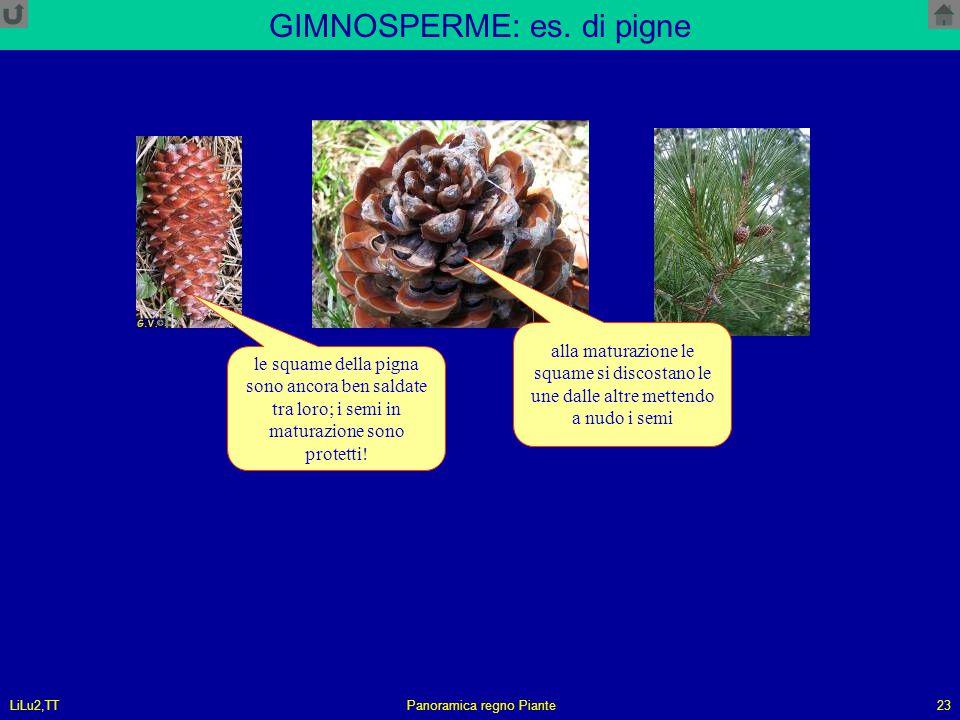 LiLu2,TTPanoramica regno Piante23 GIMNOSPERME: es. di pigne le squame della pigna sono ancora ben saldate tra loro; i semi in maturazione sono protett