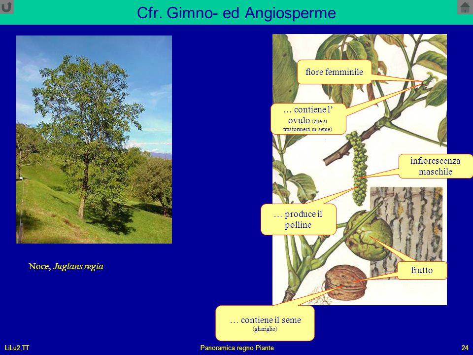 LiLu2,TTPanoramica regno Piante24 Cfr. Gimno- ed Angiosperme Noce, Juglans regia frutto infiorescenza maschile frutto fiore femminile … contiene il se