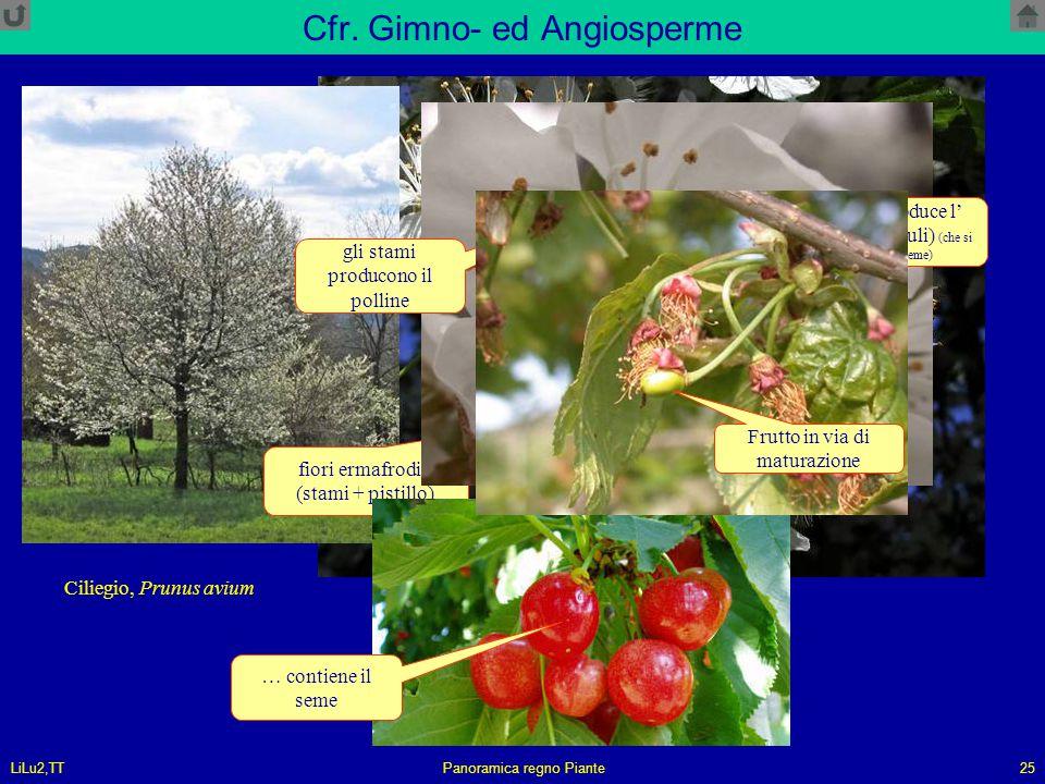 LiLu2,TTPanoramica regno Piante25 Cfr. Gimno- ed Angiosperme Ciliegio, Prunus avium fiori ermafroditi (stami + pistillo) il pistillo produce l' ovulo