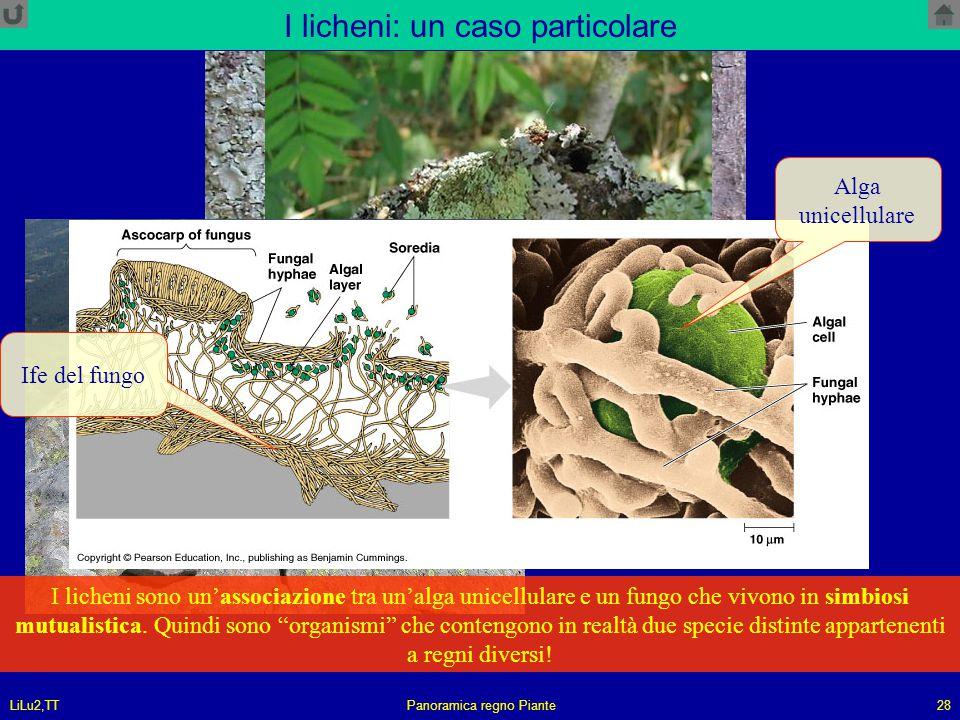 LiLu2,TTPanoramica regno Piante28 I licheni: un caso particolare I licheni sono un'associazione tra un'alga unicellulare e un fungo che vivono in simb