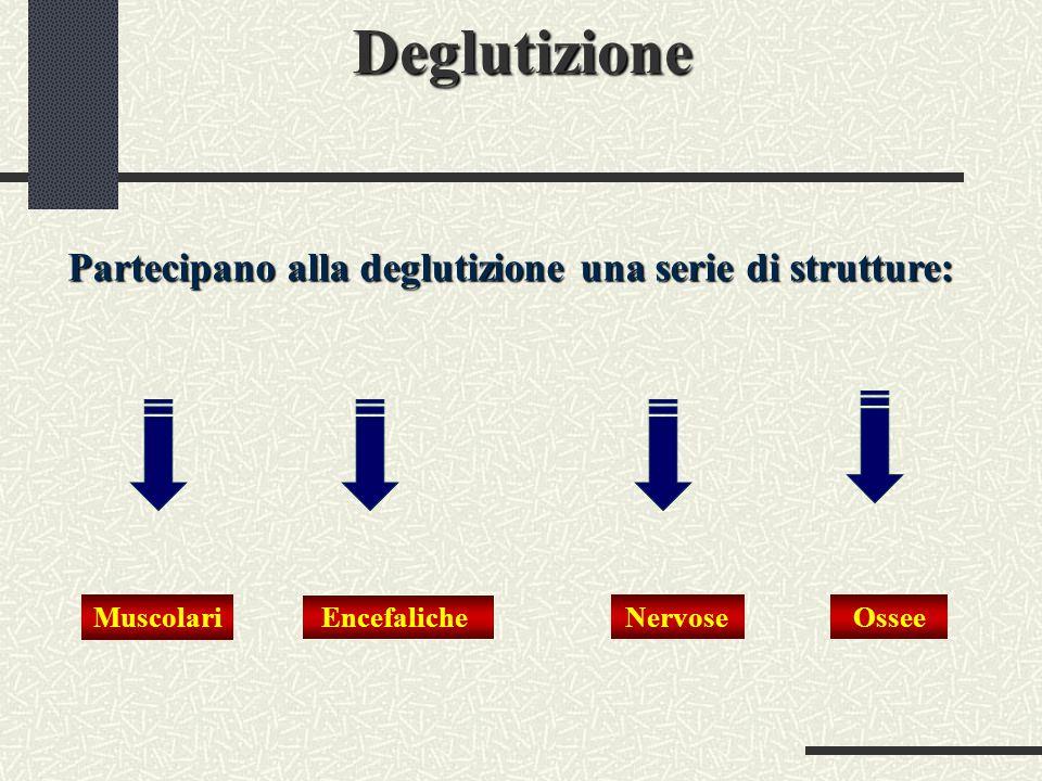 Deglutizione Partecipano alla deglutizione una serie di strutture: Muscolari Encefaliche NervoseOssee