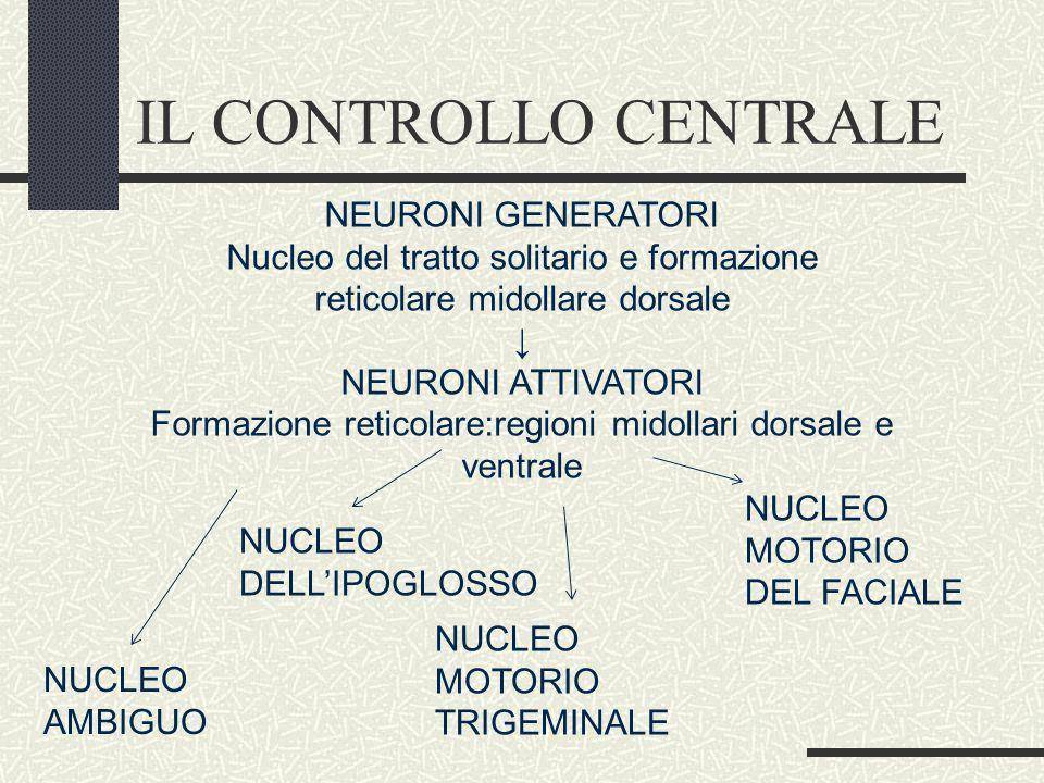 IL CONTROLLO CENTRALE NEURONI GENERATORI Nucleo del tratto solitario e formazione reticolare midollare dorsale ↓ NEURONI ATTIVATORI Formazione reticolare:regioni midollari dorsale e ventrale NUCLEO AMBIGUO NUCLEO DELL'IPOGLOSSO NUCLEO MOTORIO TRIGEMINALE NUCLEO MOTORIO DEL FACIALE